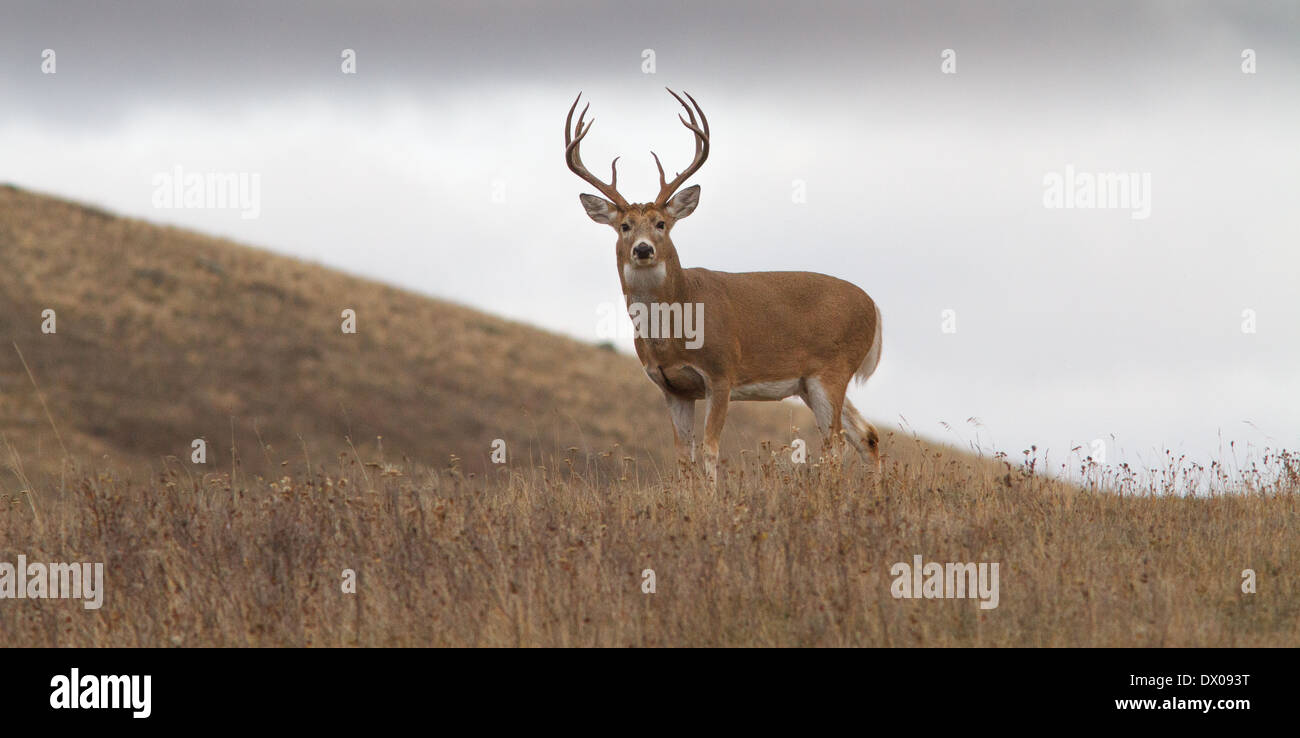 Applause-worthy buck in Montana. Really special. - Stock Image