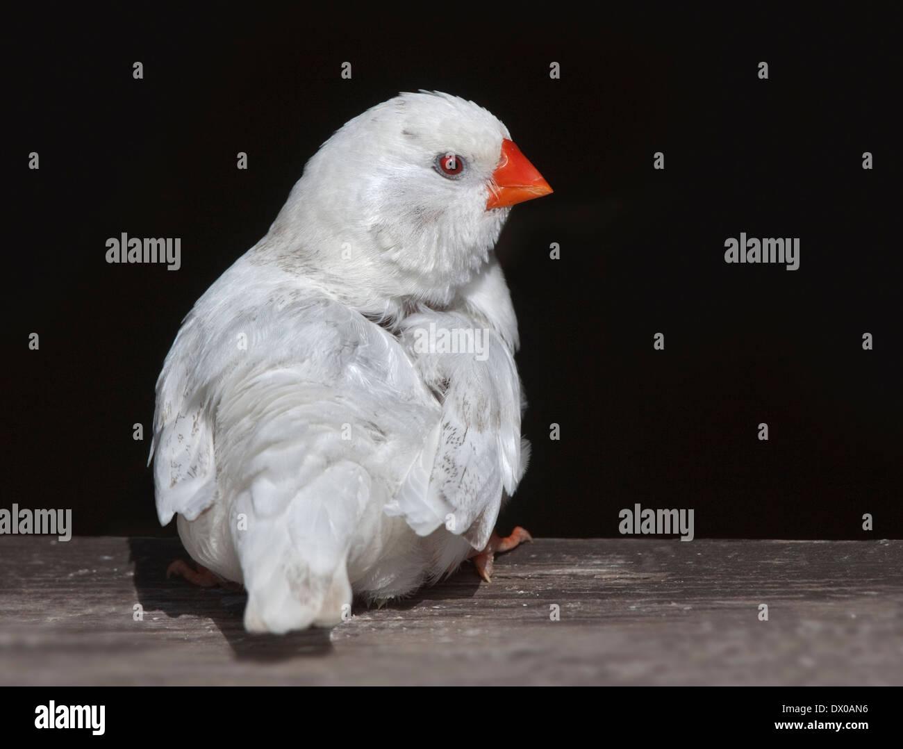 White Zebra Finch (taeniopygia guttata) - Stock Image