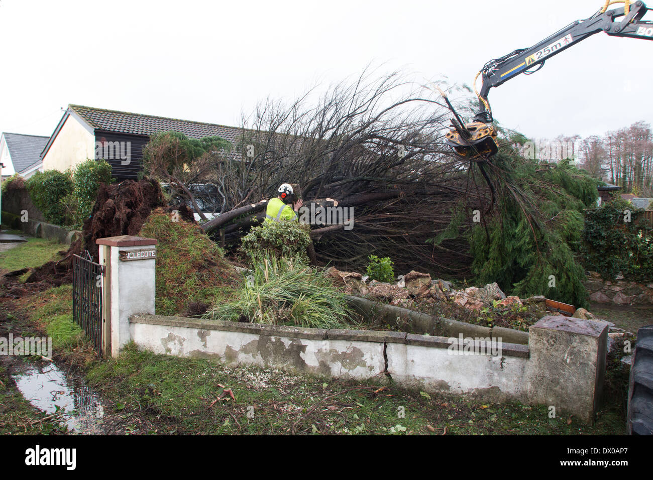 Dawlish Storm Blows a Tree Down in Storms Stock Photo