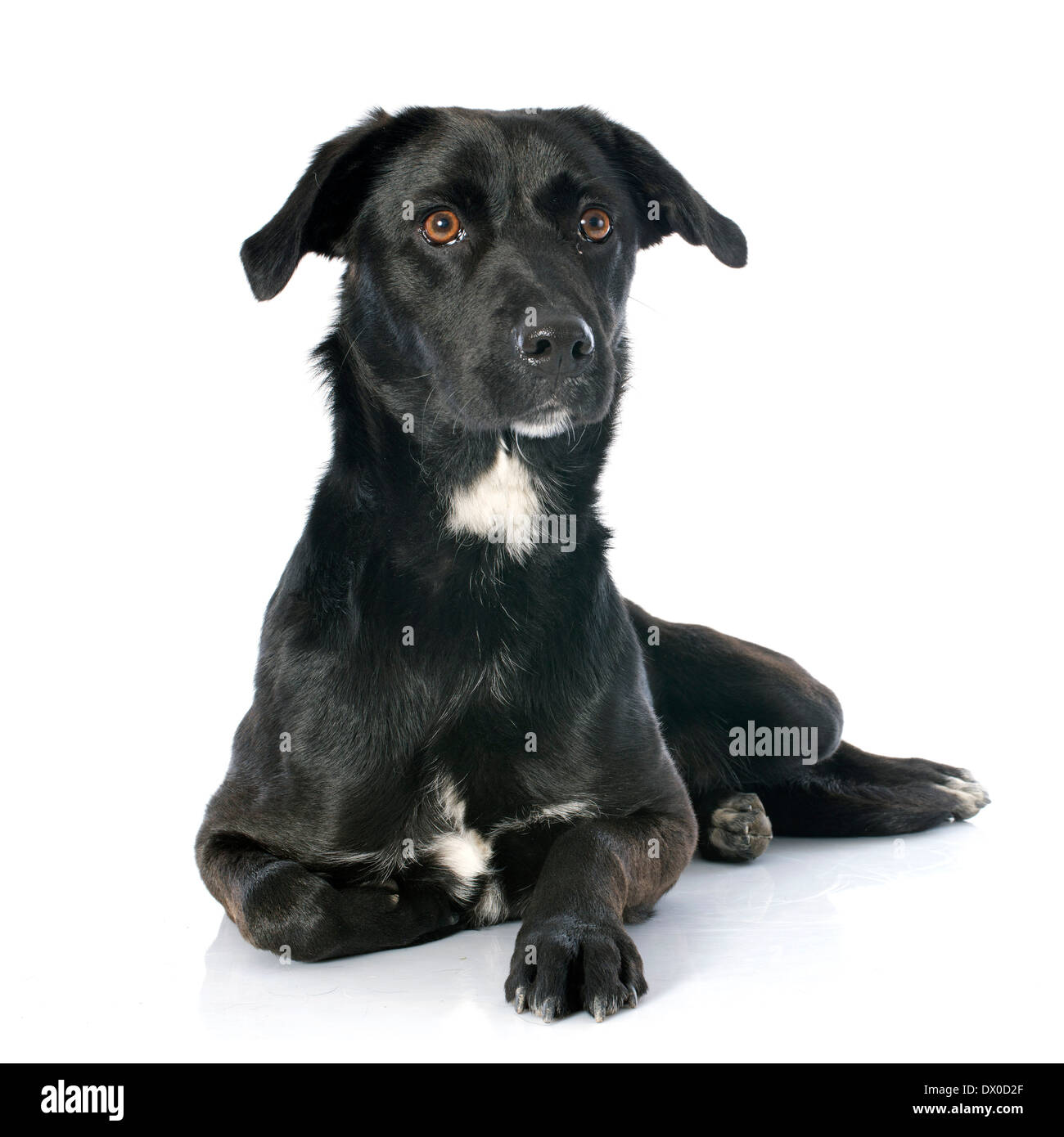 crossbred labrador retriever in front of white background - Stock Image