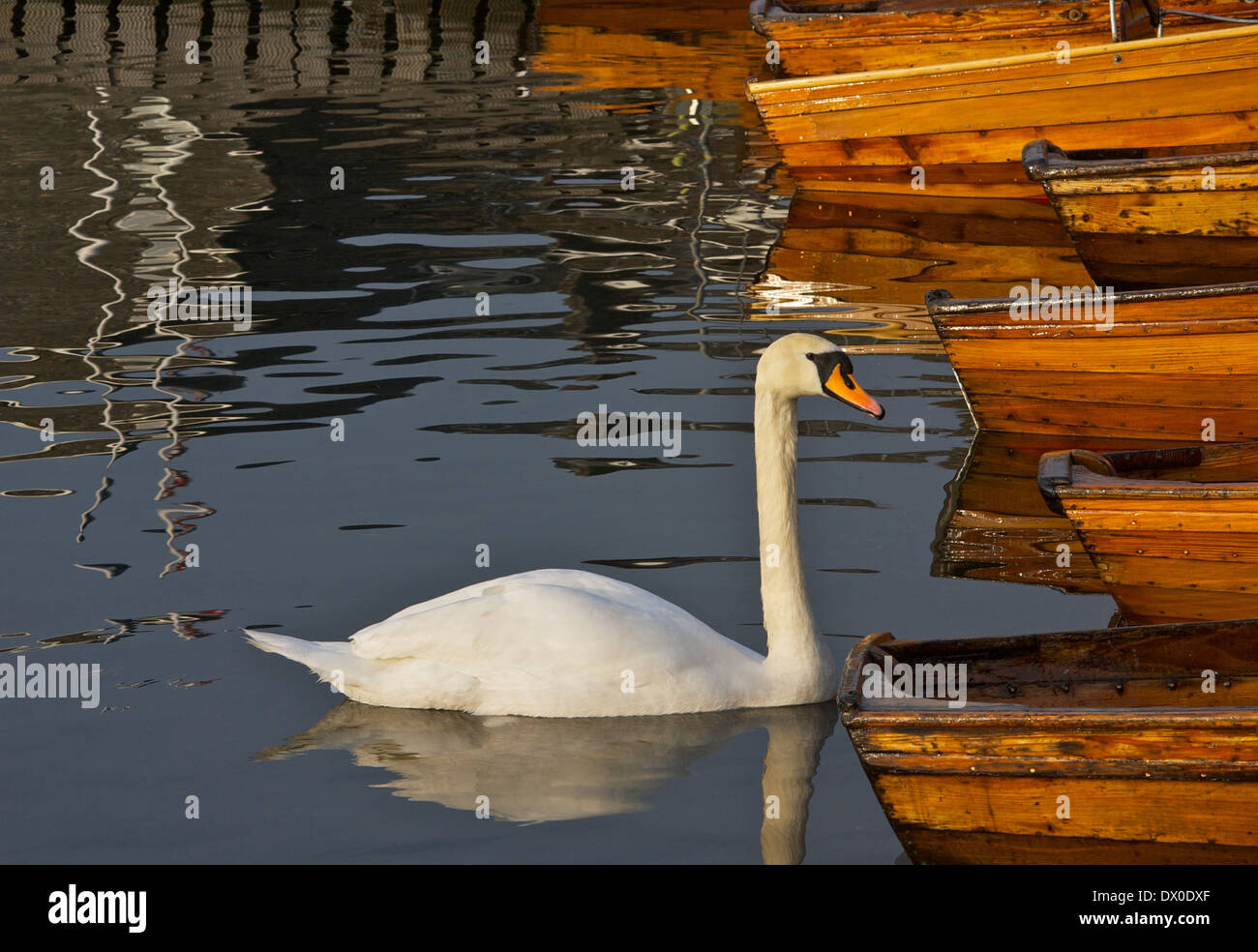 Mute swan in Bowness Bay, Lake Windermere, Lake District National Park, Cumbria, England UK - Stock Image