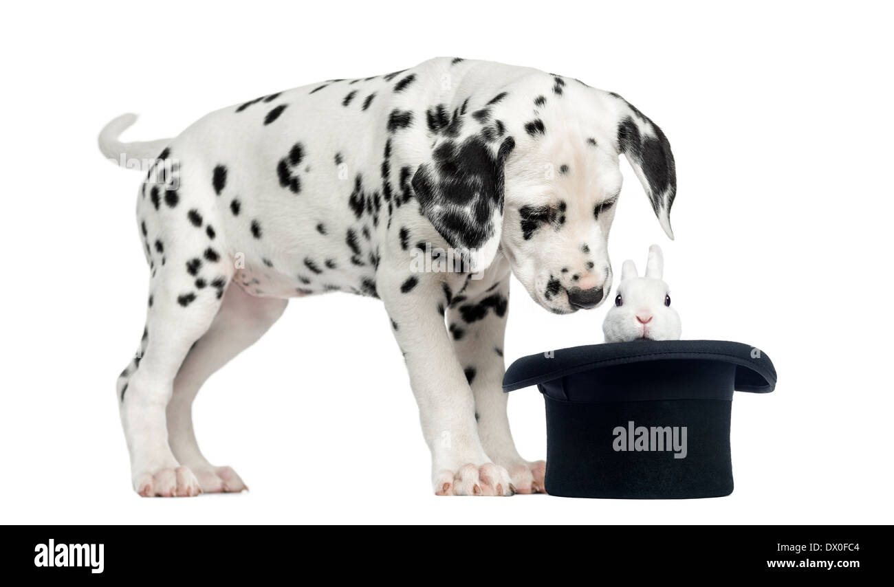 Dalmatian puppy looking at a rabbit in black top hat in front of white background - Stock Image