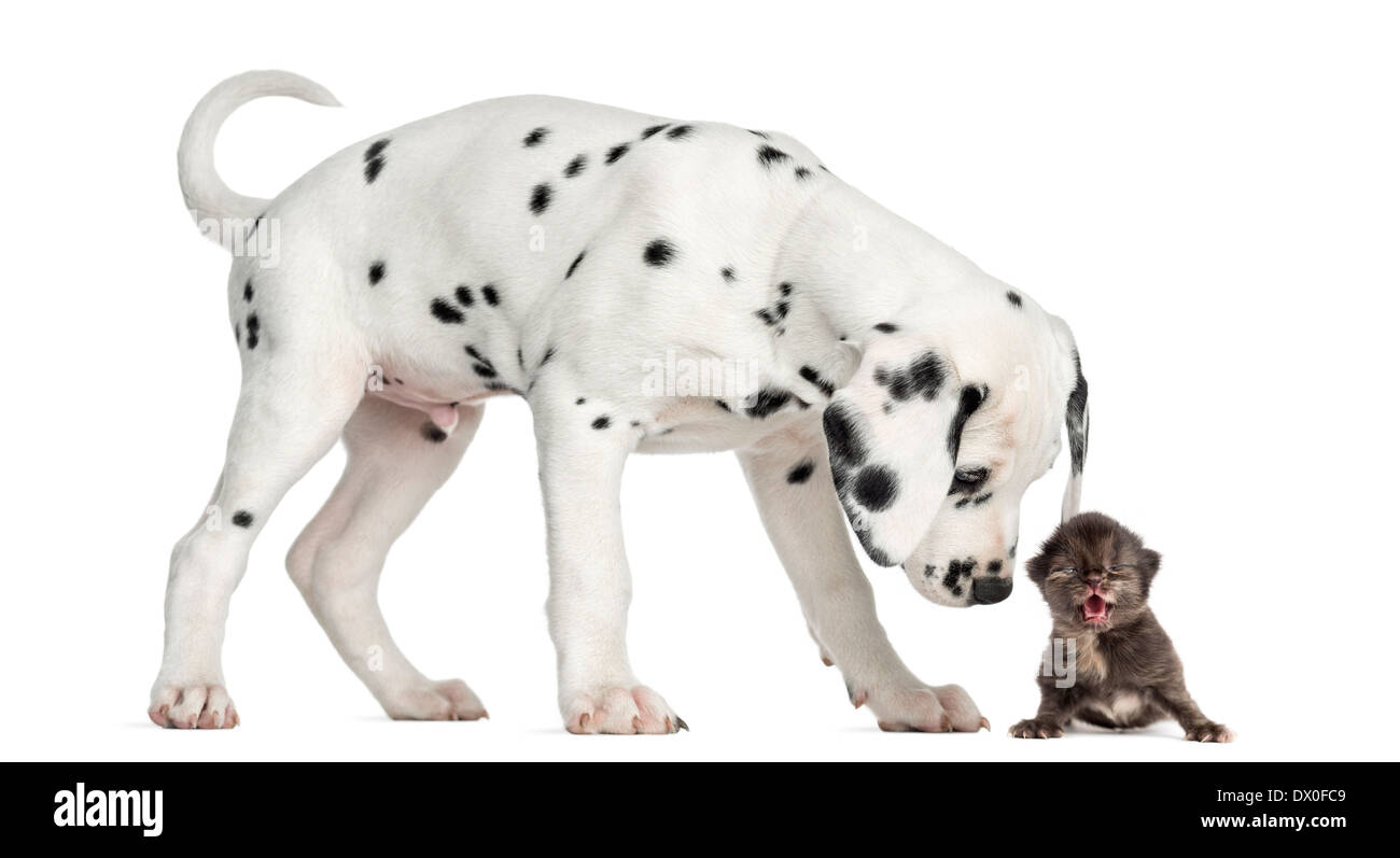 Side view of a Dalmatian puppy sniffing a kitten meowing in front of white background Stock Photo