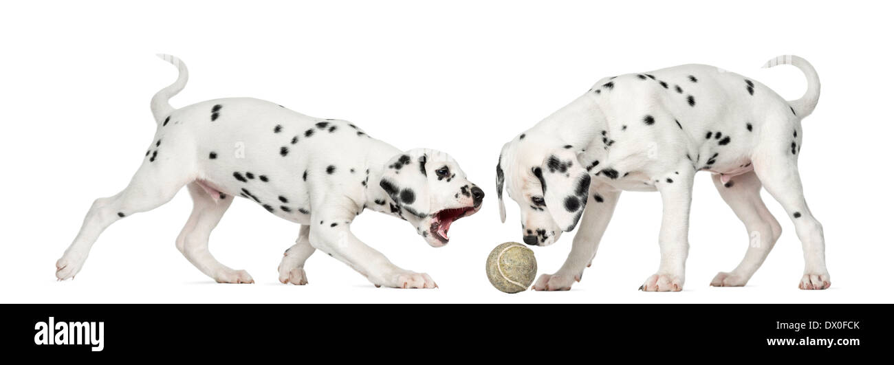Dalmatian puppies playing together with a tennis ball against white background - Stock Image