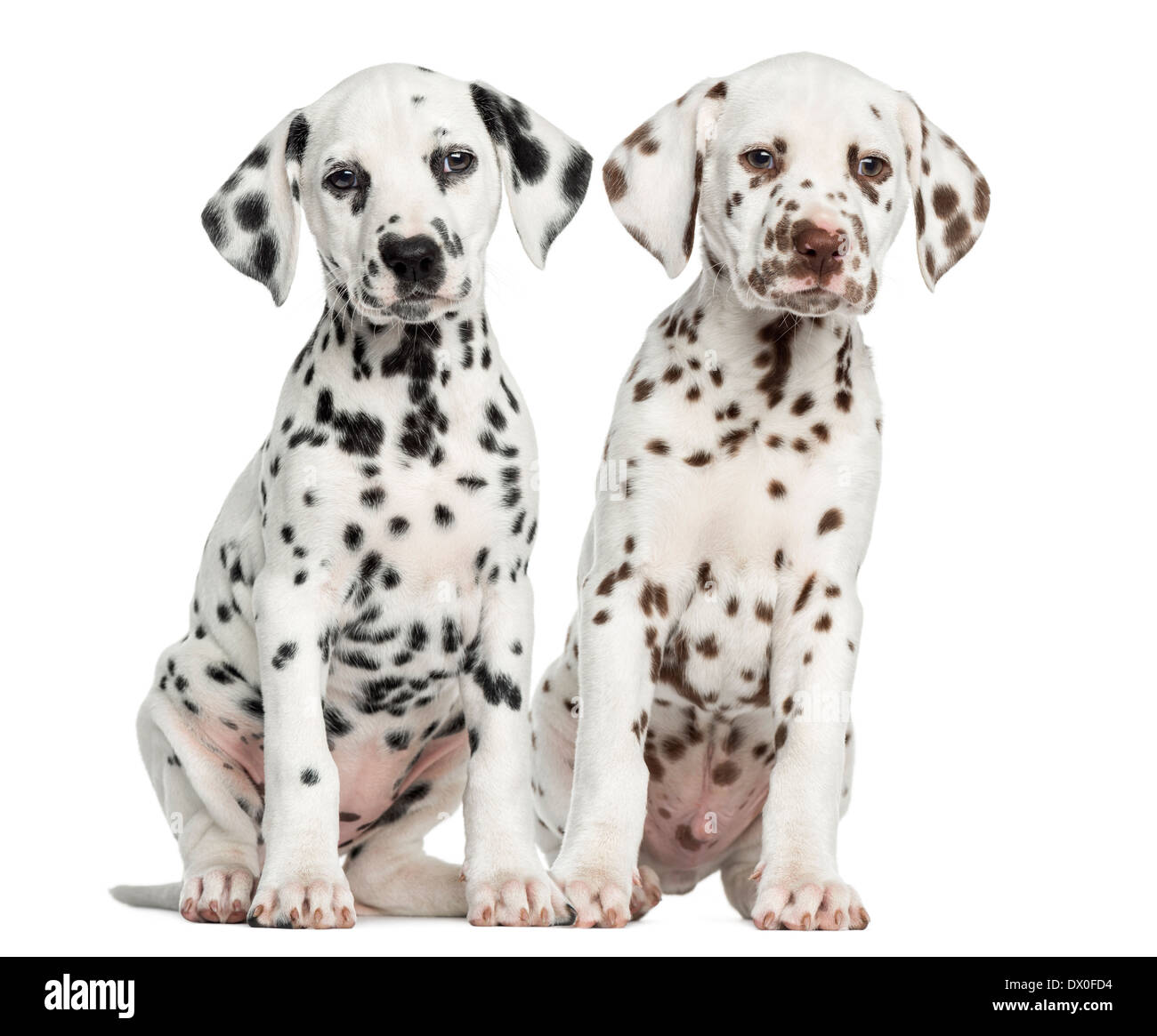 Front view of Dalmatian puppies sitting against white background - Stock Image