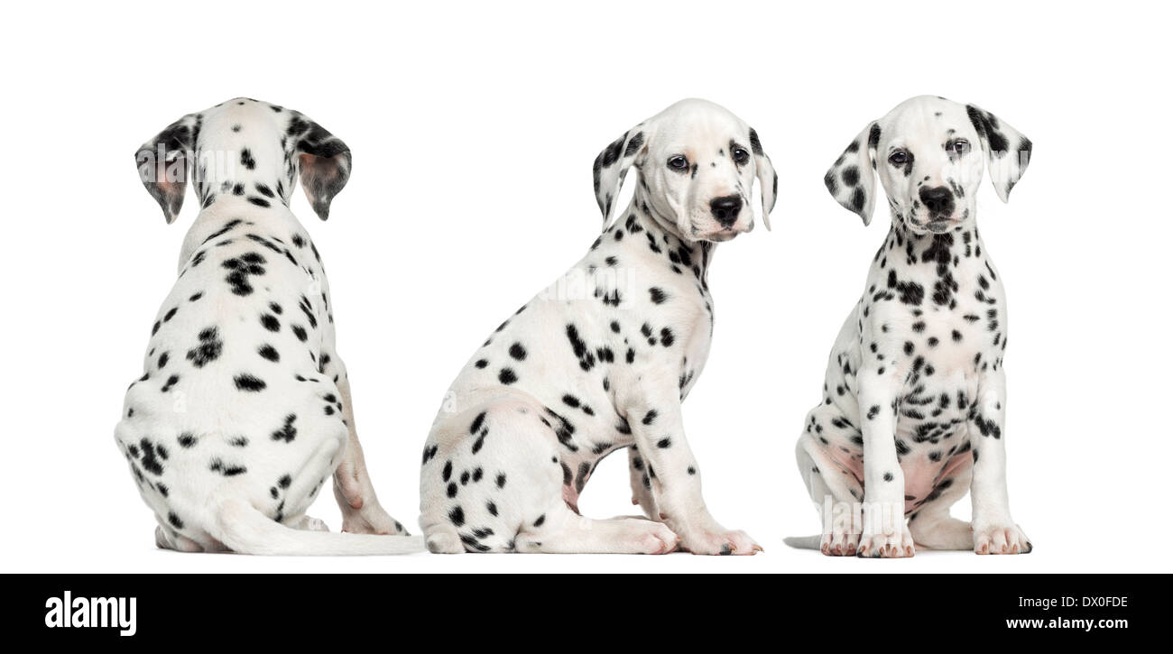Dalmatian puppies sitting together in different positions against white background - Stock Image
