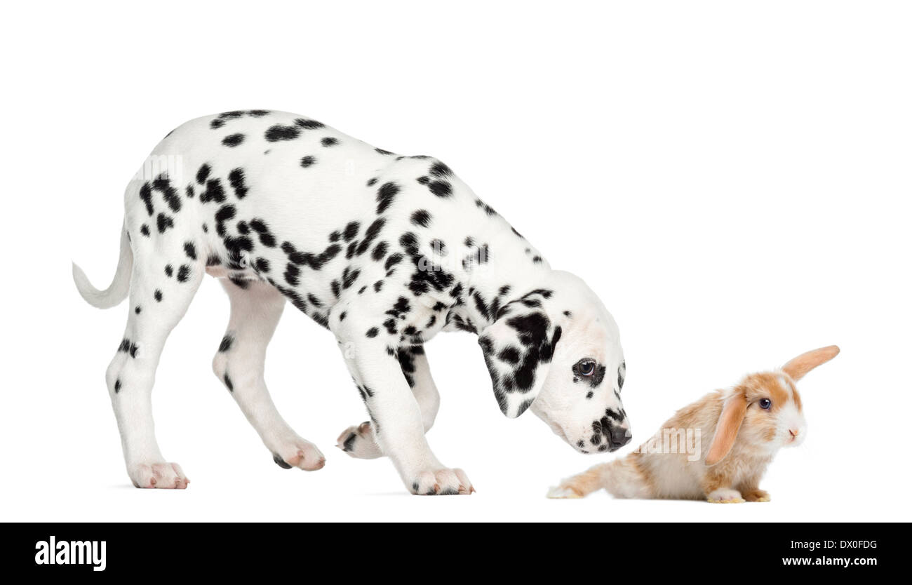 Side view of a Dalmatian puppy sniffing a rabbit in front of white background - Stock Image
