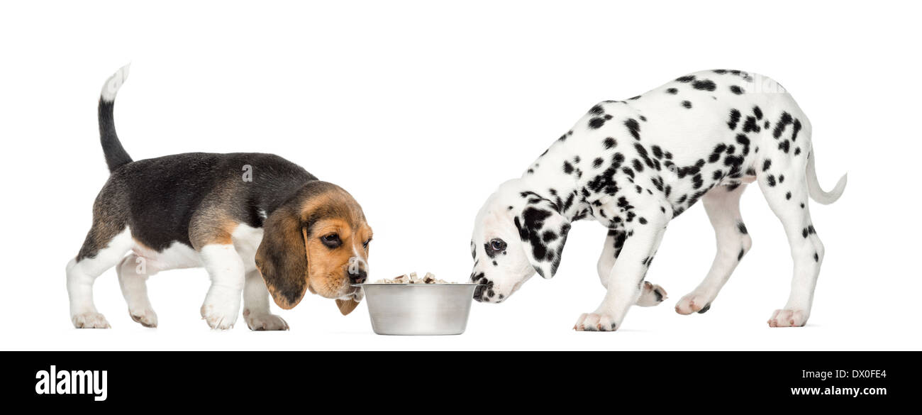 Beagle and Dalmatian puppies sniffing a bowl against white background - Stock Image