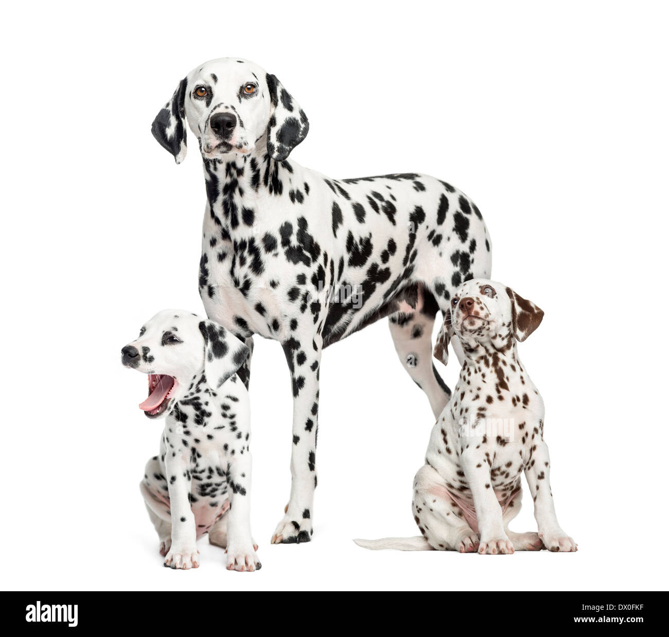 Dalmatian mom and puppies against white background - Stock Image