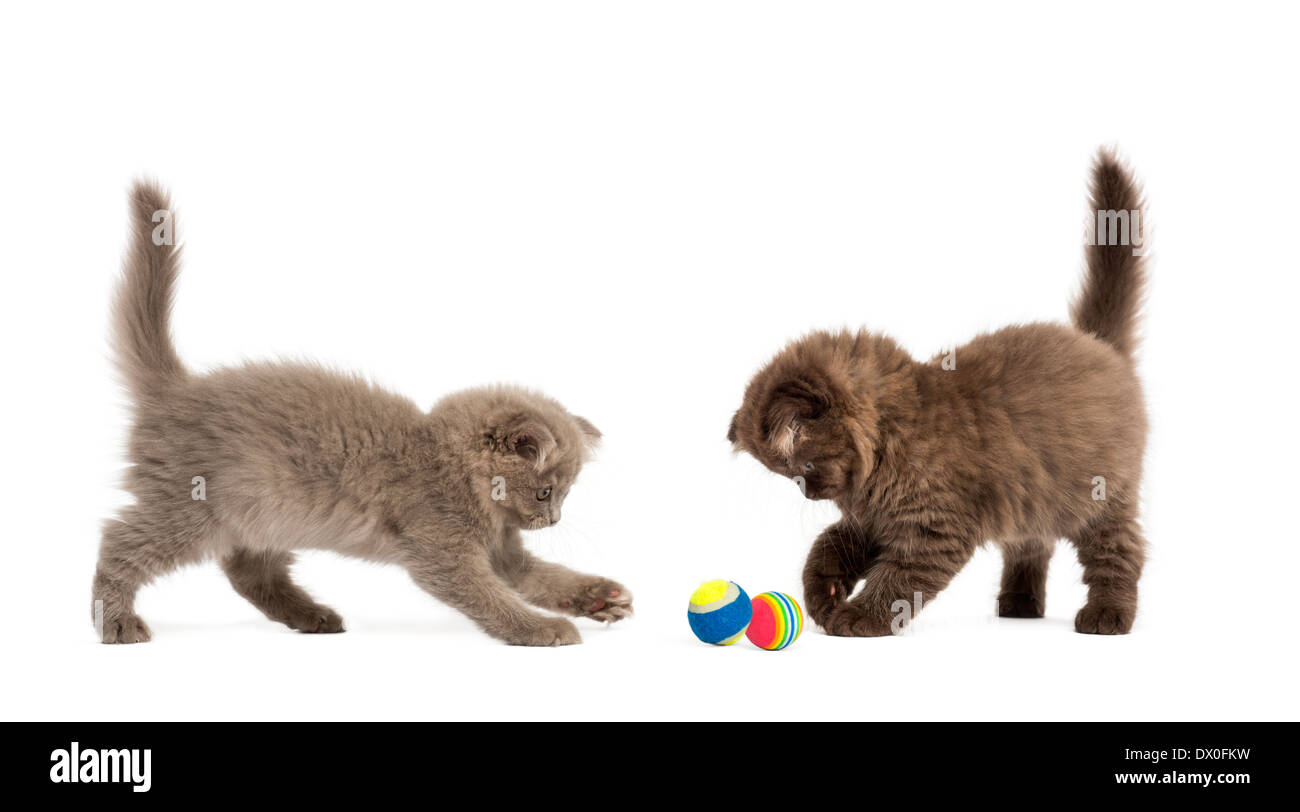 Highland fold kittens playing together with balls in front of white background - Stock Image