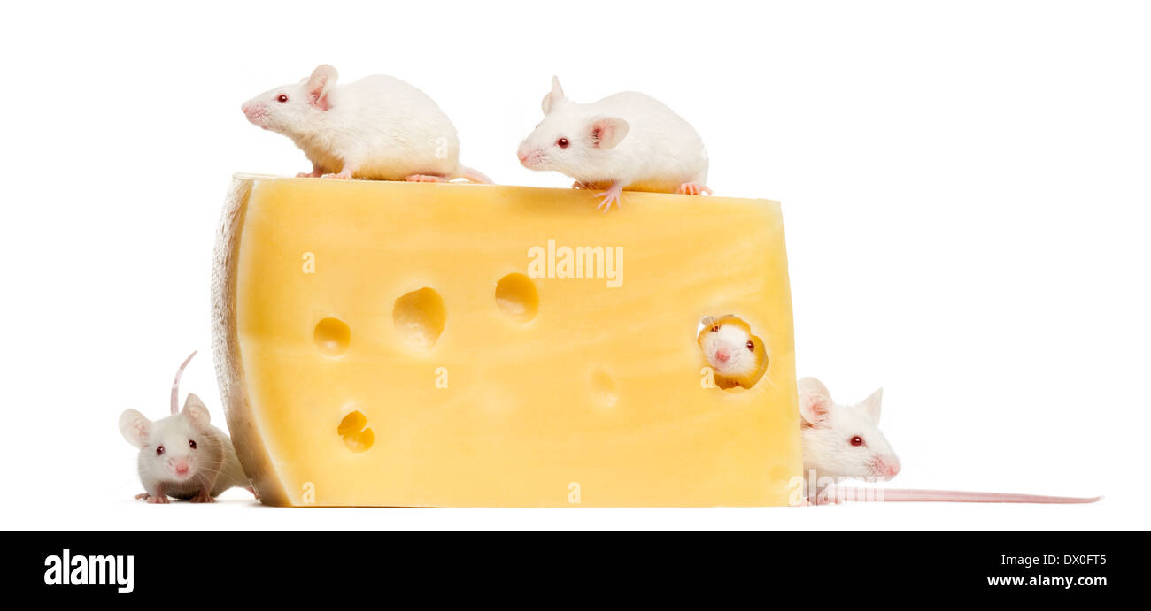 Group of albino white mice around a big piece of cheese, Mus musculus, in front of white background - Stock Image