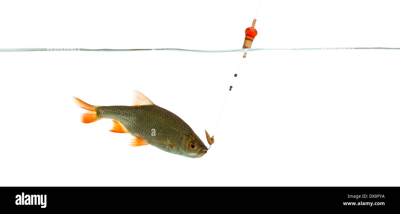 Common roach under water caught on a hook, Rutilus rutilus, against white background - Stock Image
