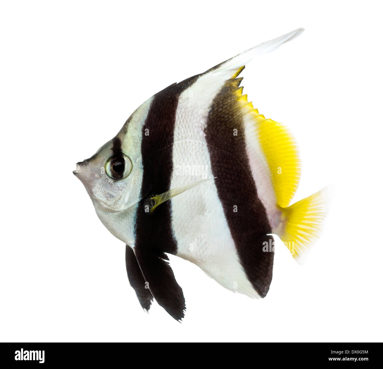 Side view of a Pennant Coralfish, Heniochus acuminatus, against white background - Stock Image