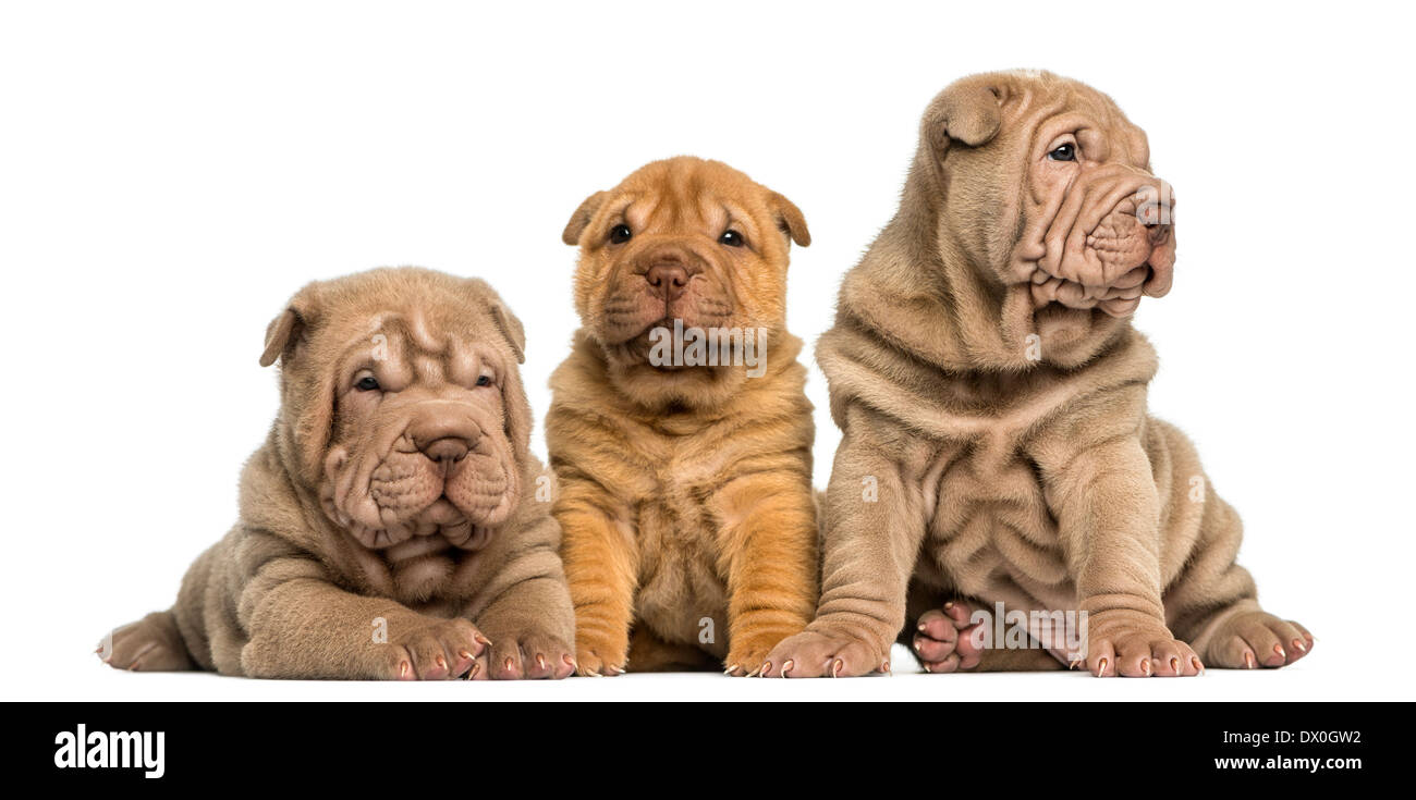 Front view of Shar Pei puppies sitting in a row against white background - Stock Image