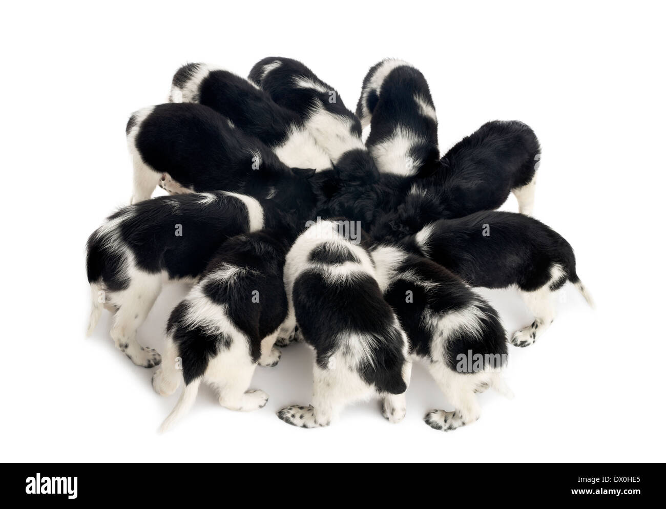 Stabyhoun puppies eating together against white background - Stock Image