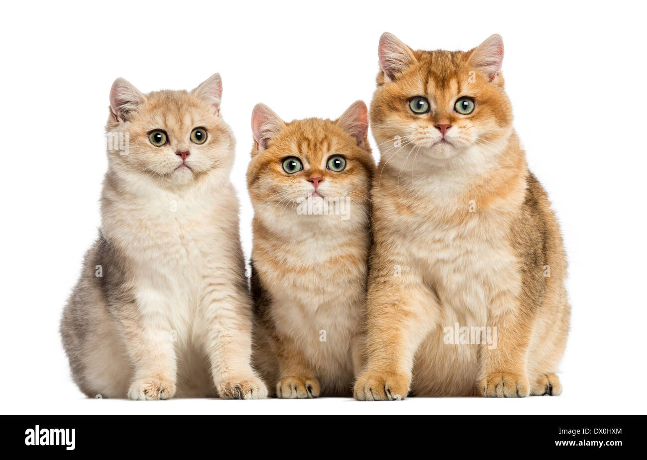 Group of British shorthair sitting in a row, looking at the camera in front of white background - Stock Image