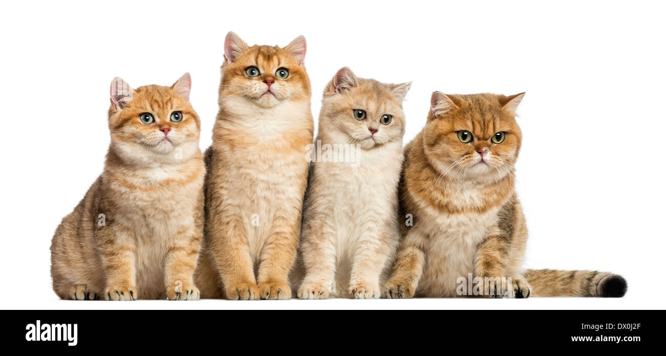 Group of British shorthair cats sitting in a row in front of white background - Stock Image
