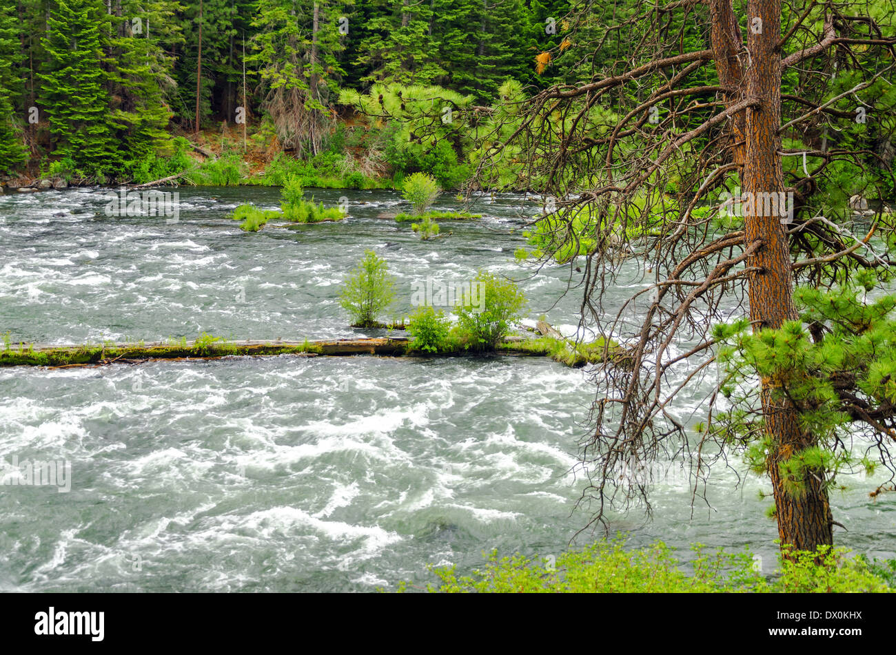 View of the Deschutes River rushing by a forest in Central Oregon - Stock Image