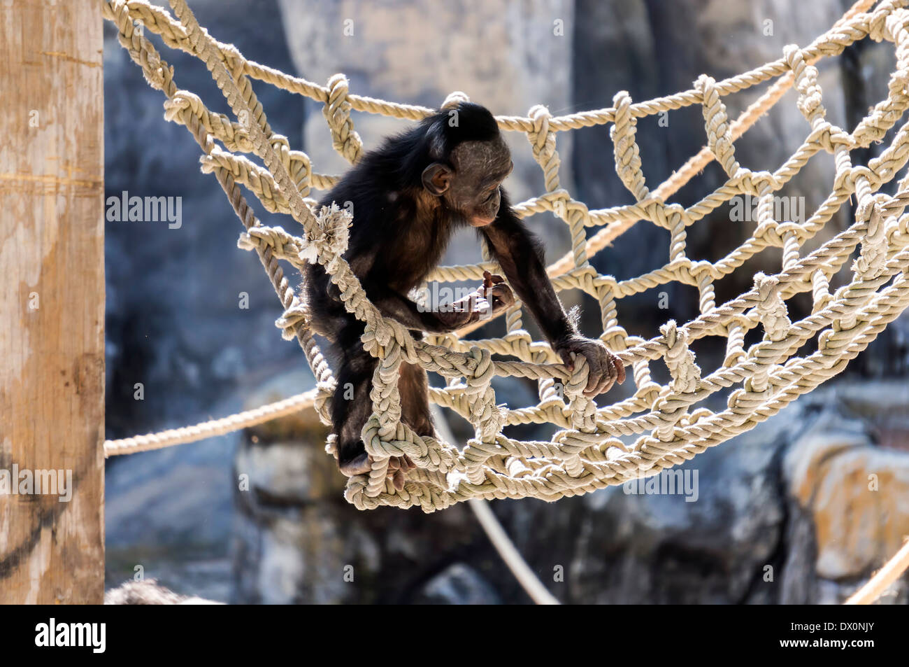 An endangered Bonobo (Pan paniscus) primate youngster plays on a rope net in his Jacksonville zoo enclosure. - Stock Image