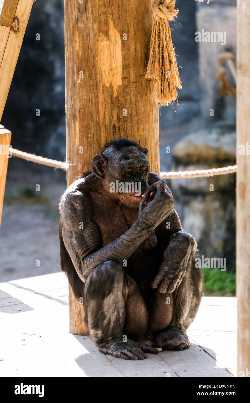 An endangered Bonobo (Pan paniscus) sits on a wooden platform in her Jacksonville zoo enclosure. - Stock Image