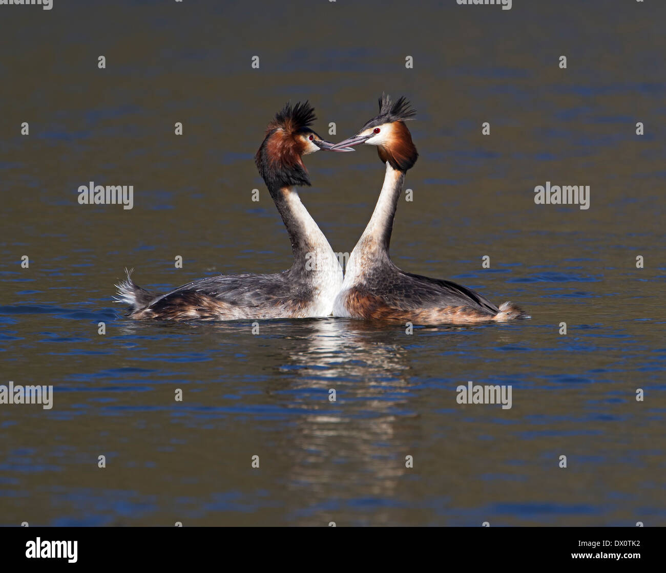 Great crested grebe courtship display; - Stock Image