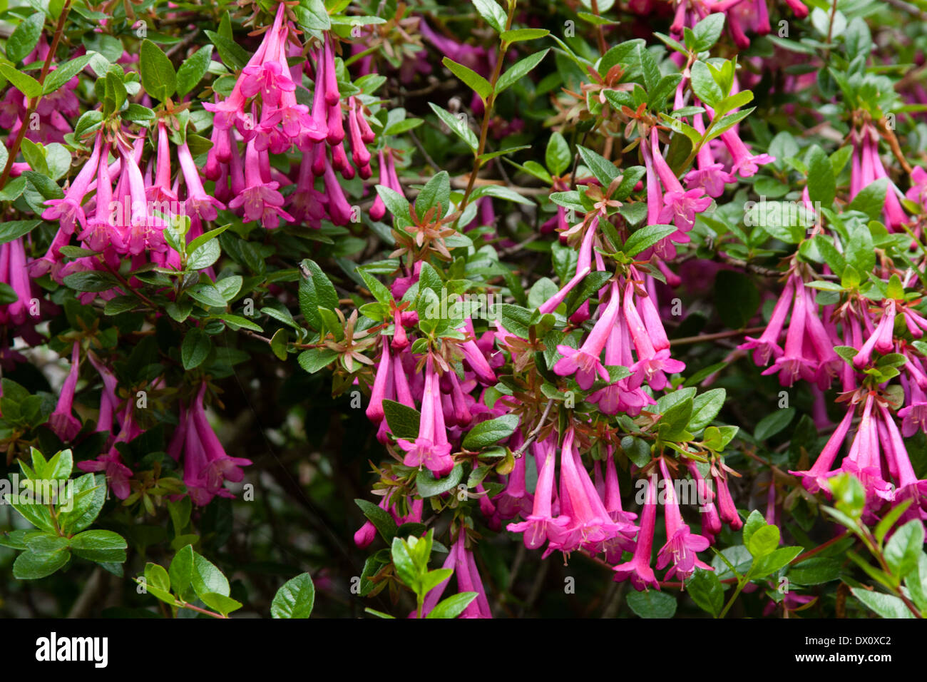 The choice, lax growing wall shrub, Abelia floribunda, needs a warm wall to thrive in the UK - Stock Image