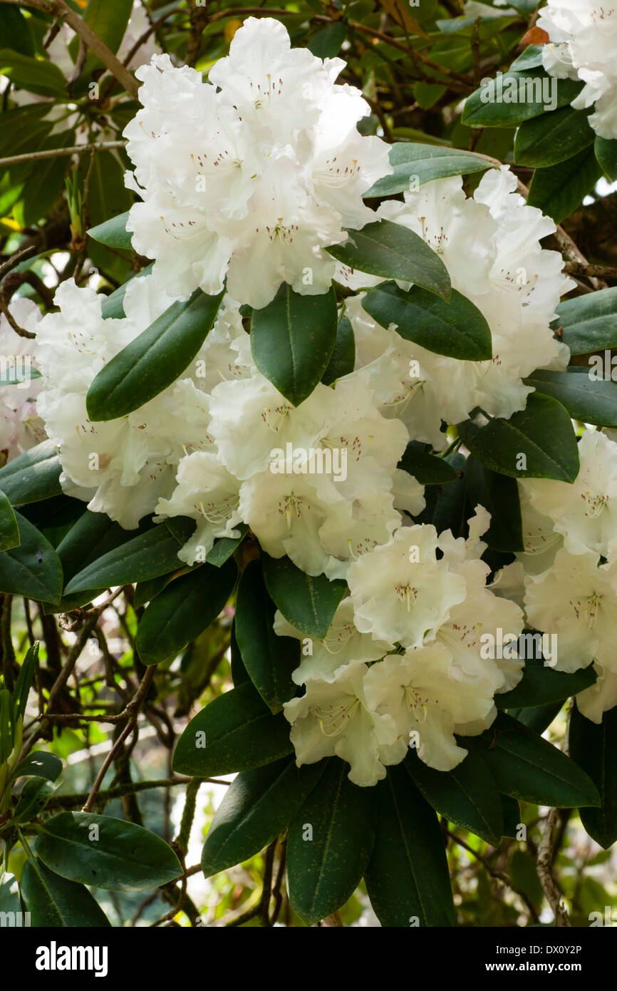 Large Leaves And White Flowers Of The Tree Sized Rhododendron