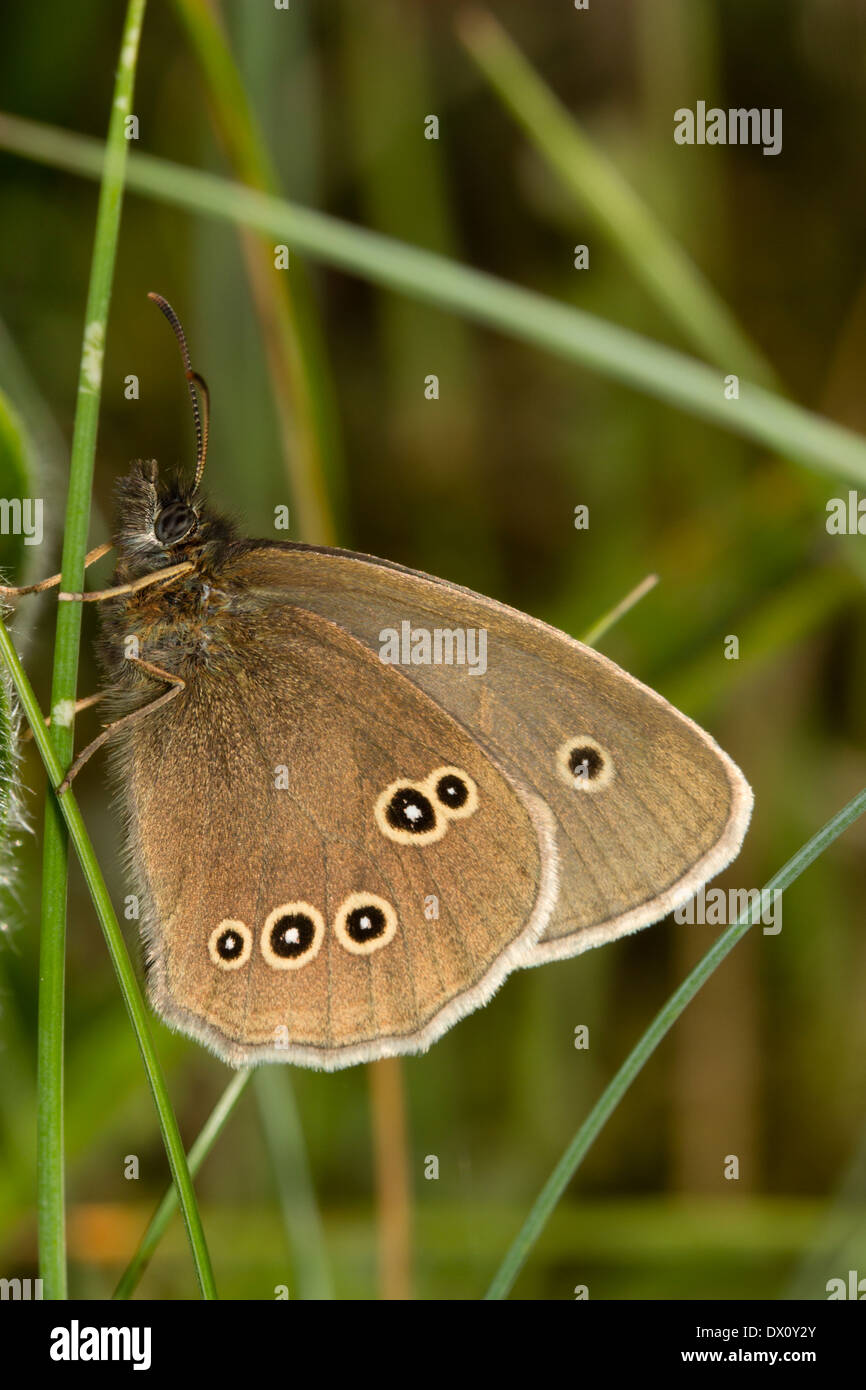 Ringlet butterfly, Aphantopus hyperantus, with wings closed - Stock Image