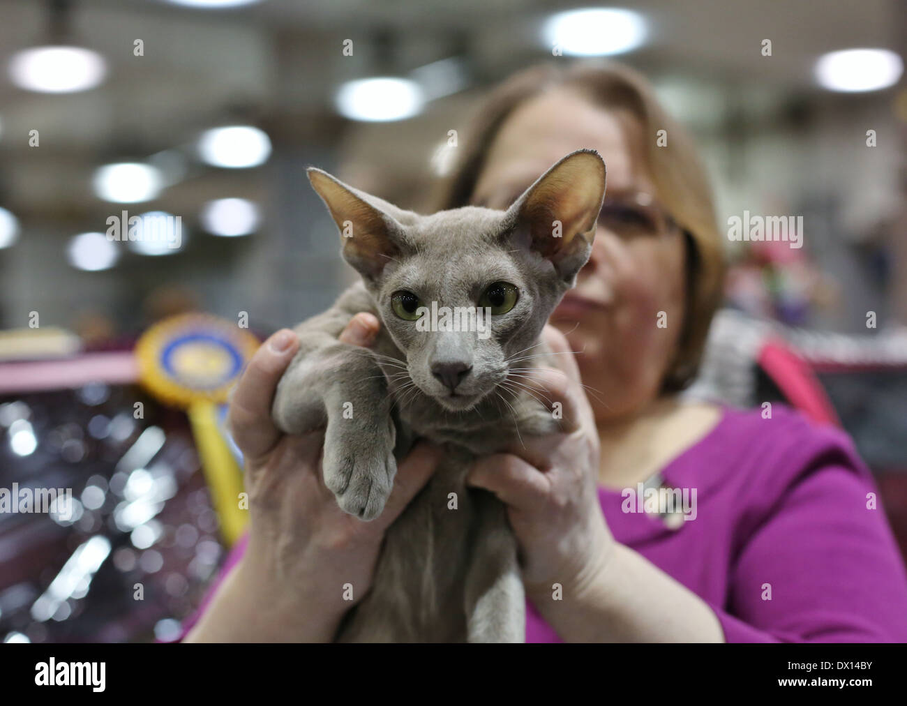 A woman holding a cat with large ears at a cat show. - Stock Image