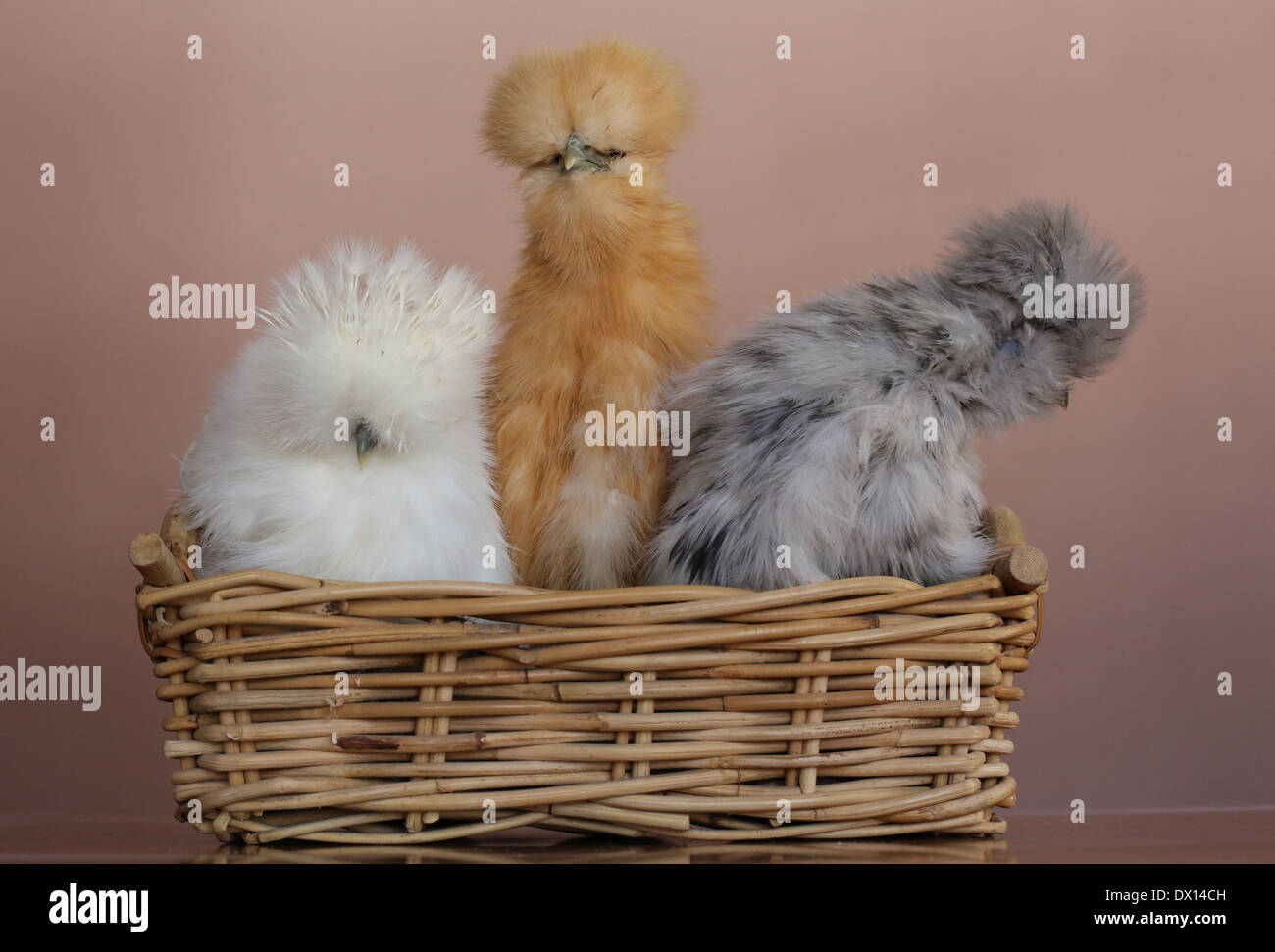 3 Silkie chickens, side by side in a basket. Stock Photo