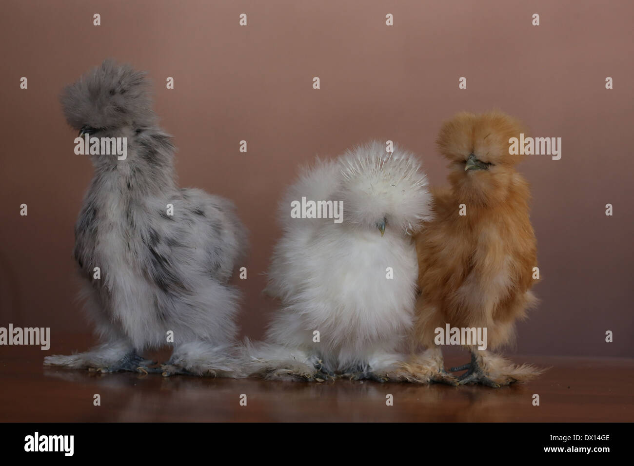 3 Silkie chickens, side by side. - Stock Image