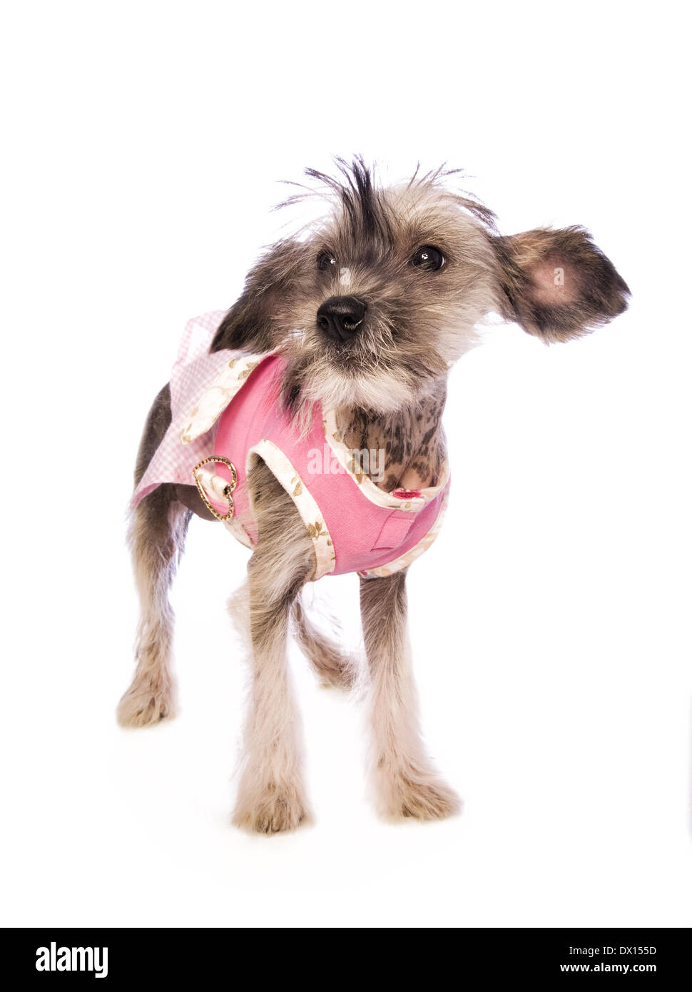 Adorable Chinese Crested hairless puppy standing wearing pink dress isolated on white background - Stock Image