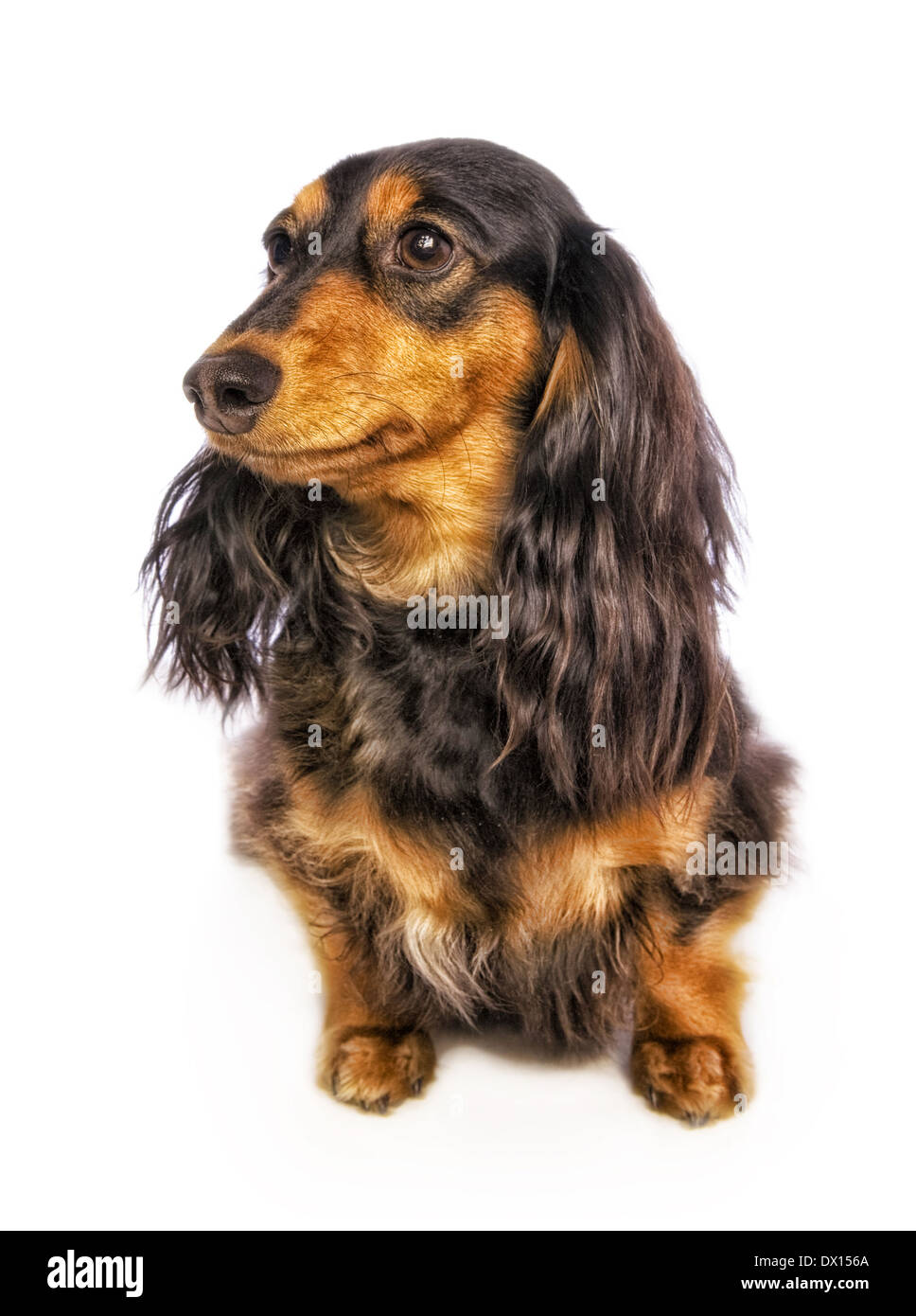 Dachshund dog sitting front view looking to the side isolated on white - Stock Image