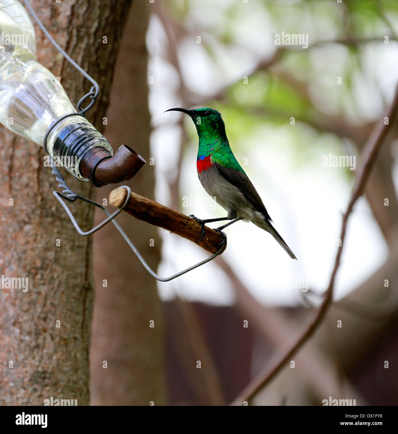 Lesser Double-collared Sunbird or Southern Double-collared Sunbird (Cinnyris chalybeus) perched on nectar feeder in garden. - Stock Image