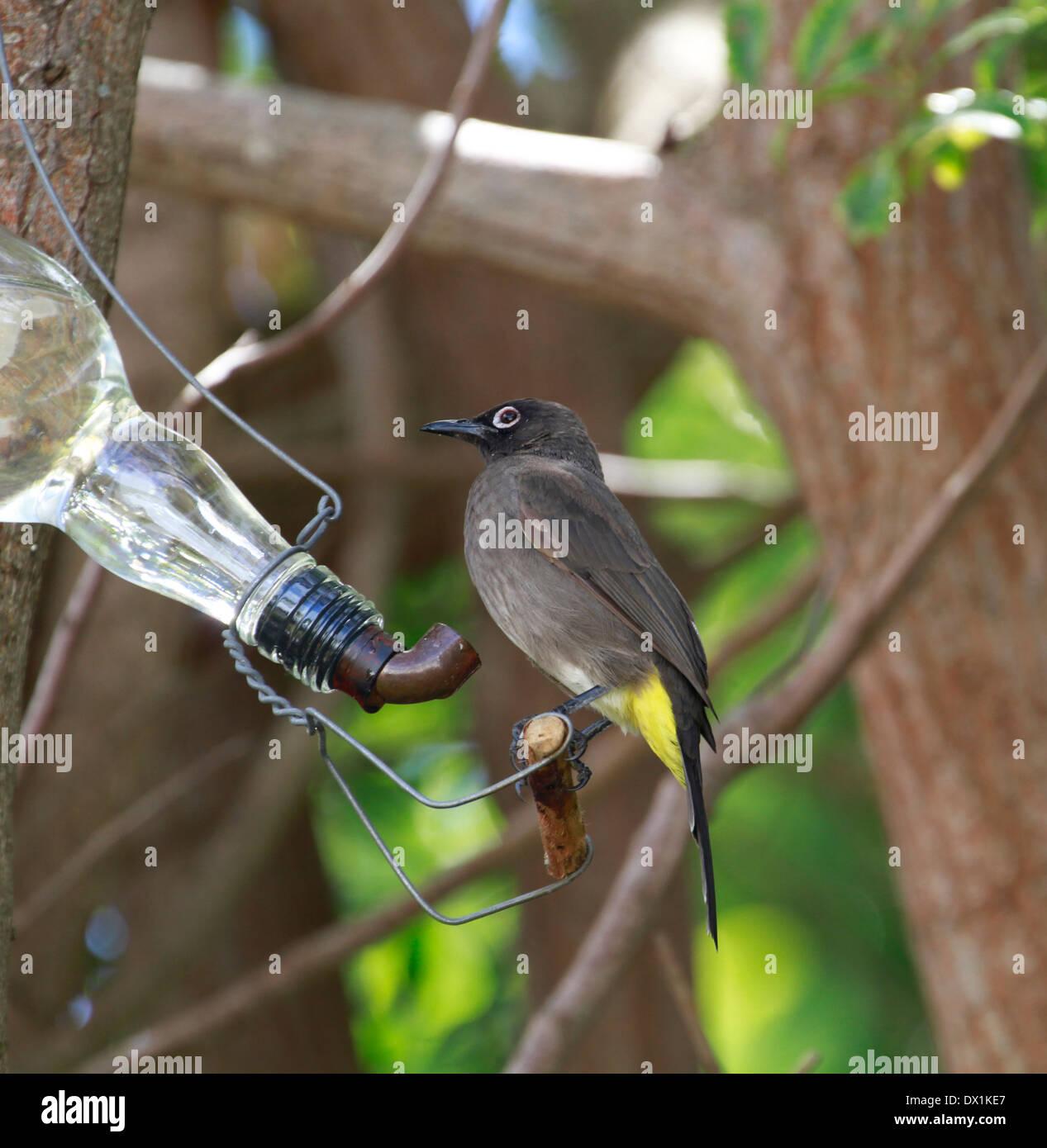 A Cape Bulbul (Pycnonotus capensis) perched on a nectar feeder in a garden. Stock Photo