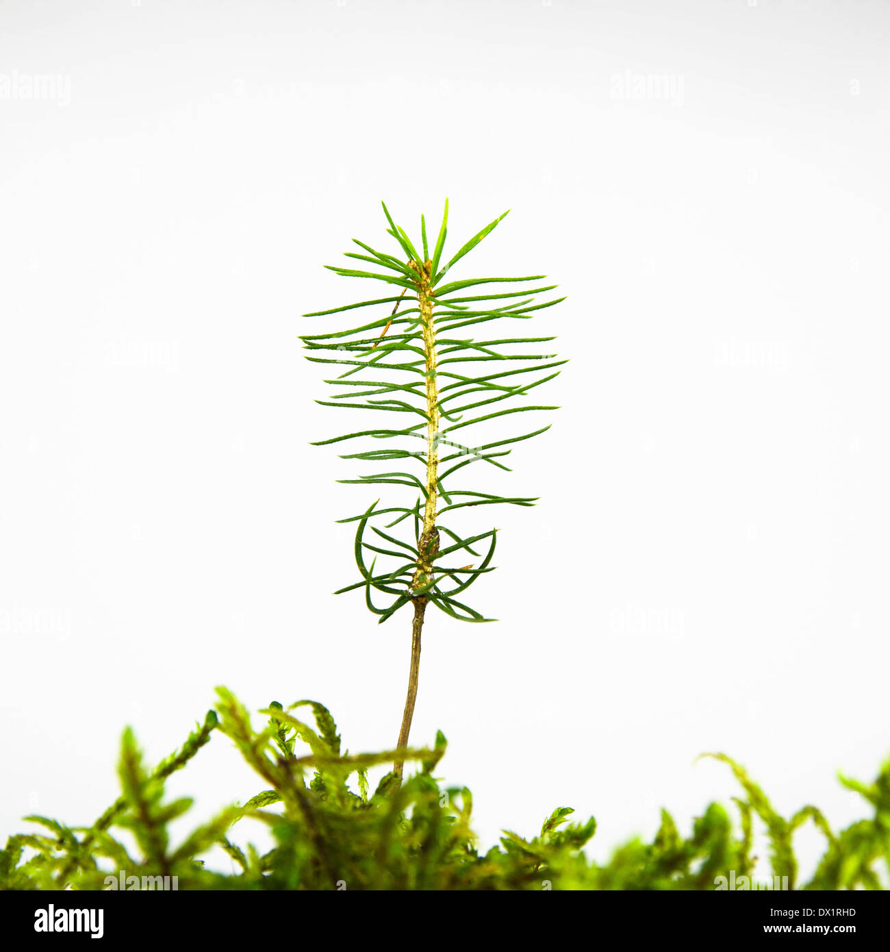 Small tiny spruce seedling isolated on white - Stock Image