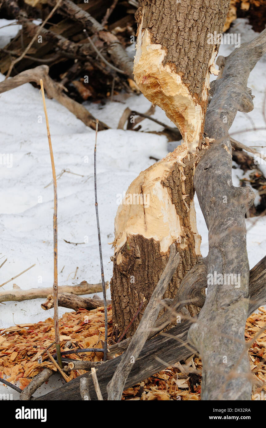 Tree trunk chewed by beaver. - Stock Image