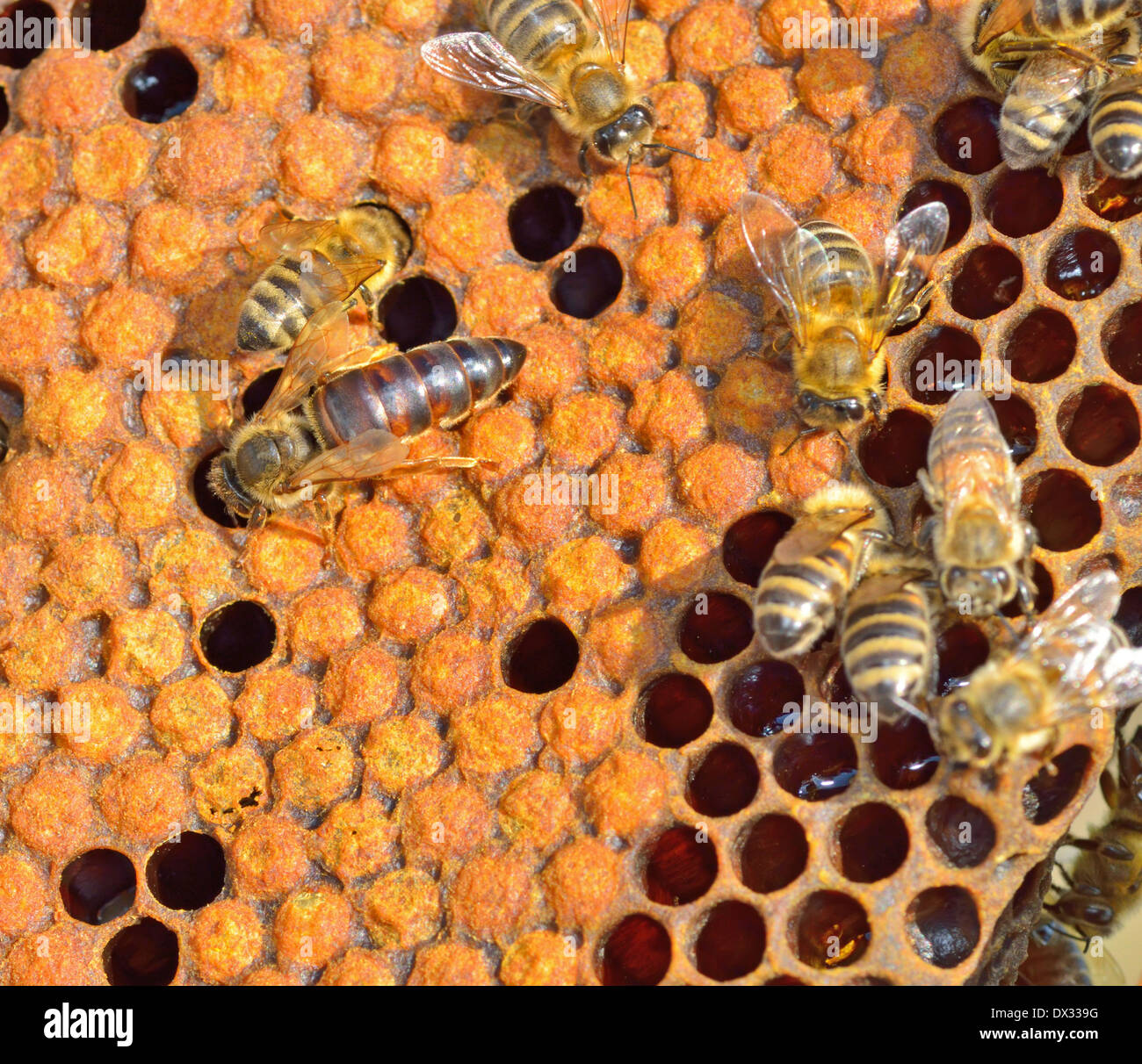 Queen bee on honeycomb - Stock Image