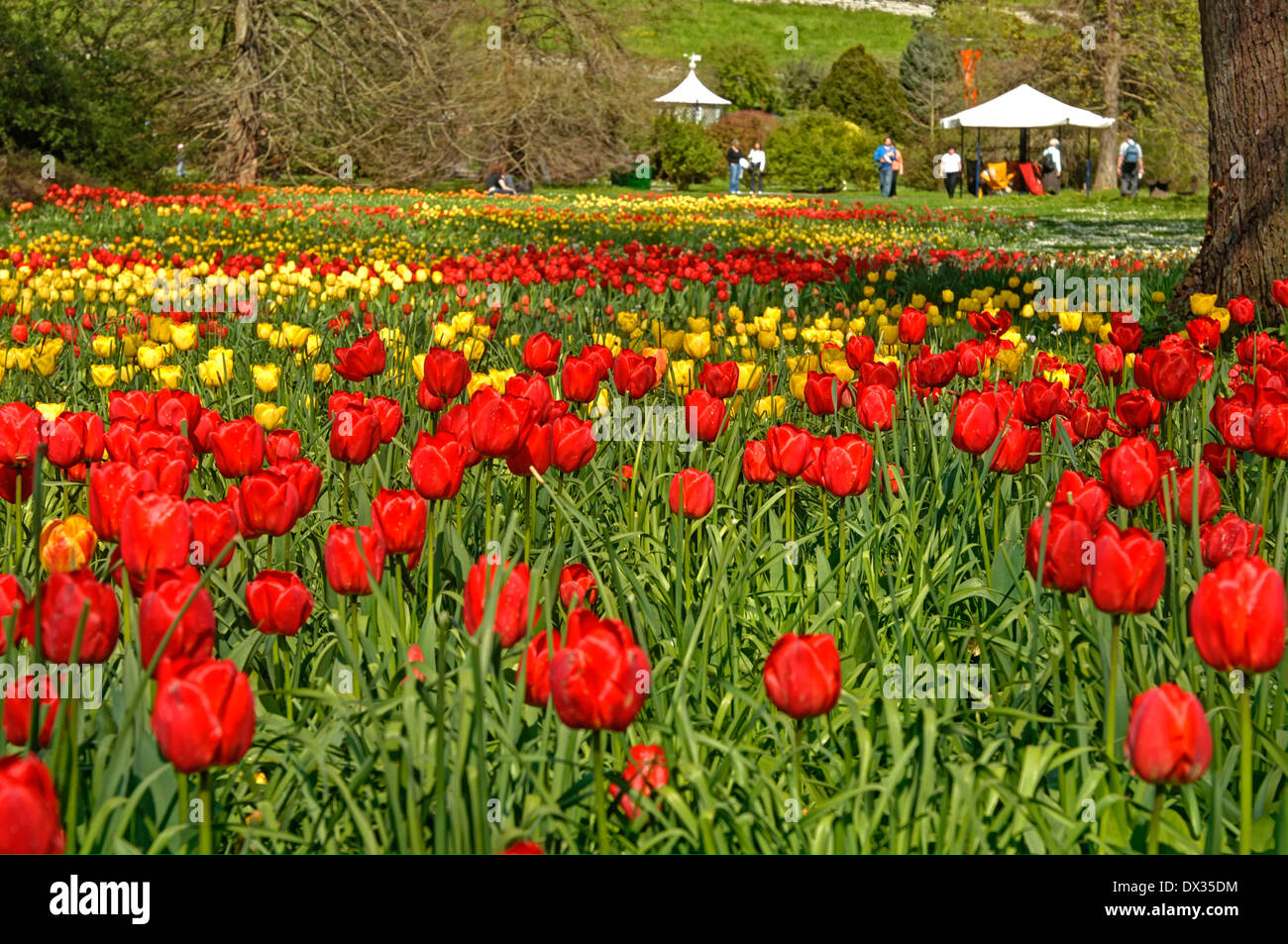 Red and yellow tulip field - Stock Image