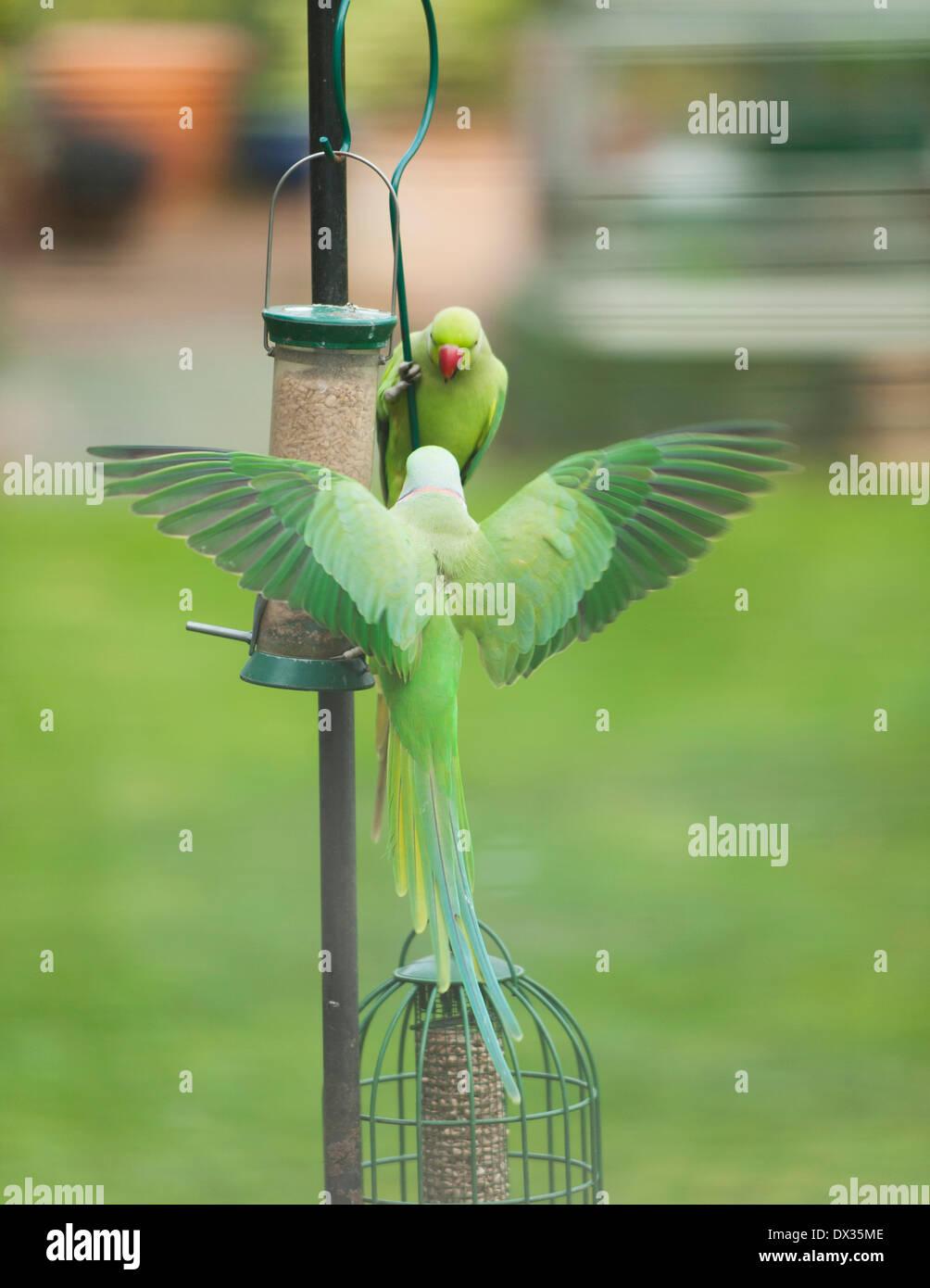 Wimbledon, SW London UK. 17th March, 2014. Ring-Necked Parakeets descend on a garden bird feeder on a warm spring Stock Photo