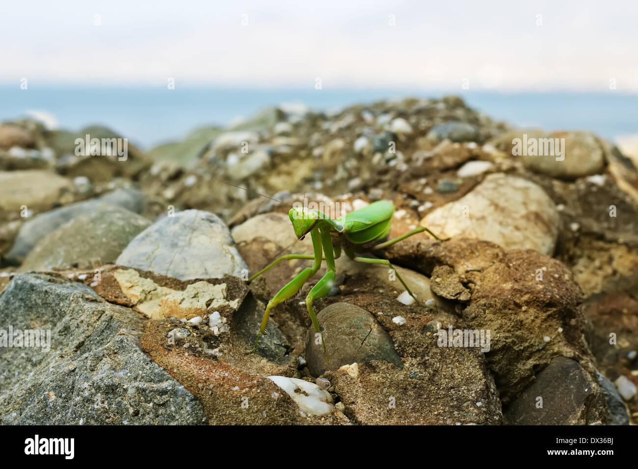 Closeup image of green praying mantis (Mantis religiosa) is sitting on the rock near sea, front view Stock Photo