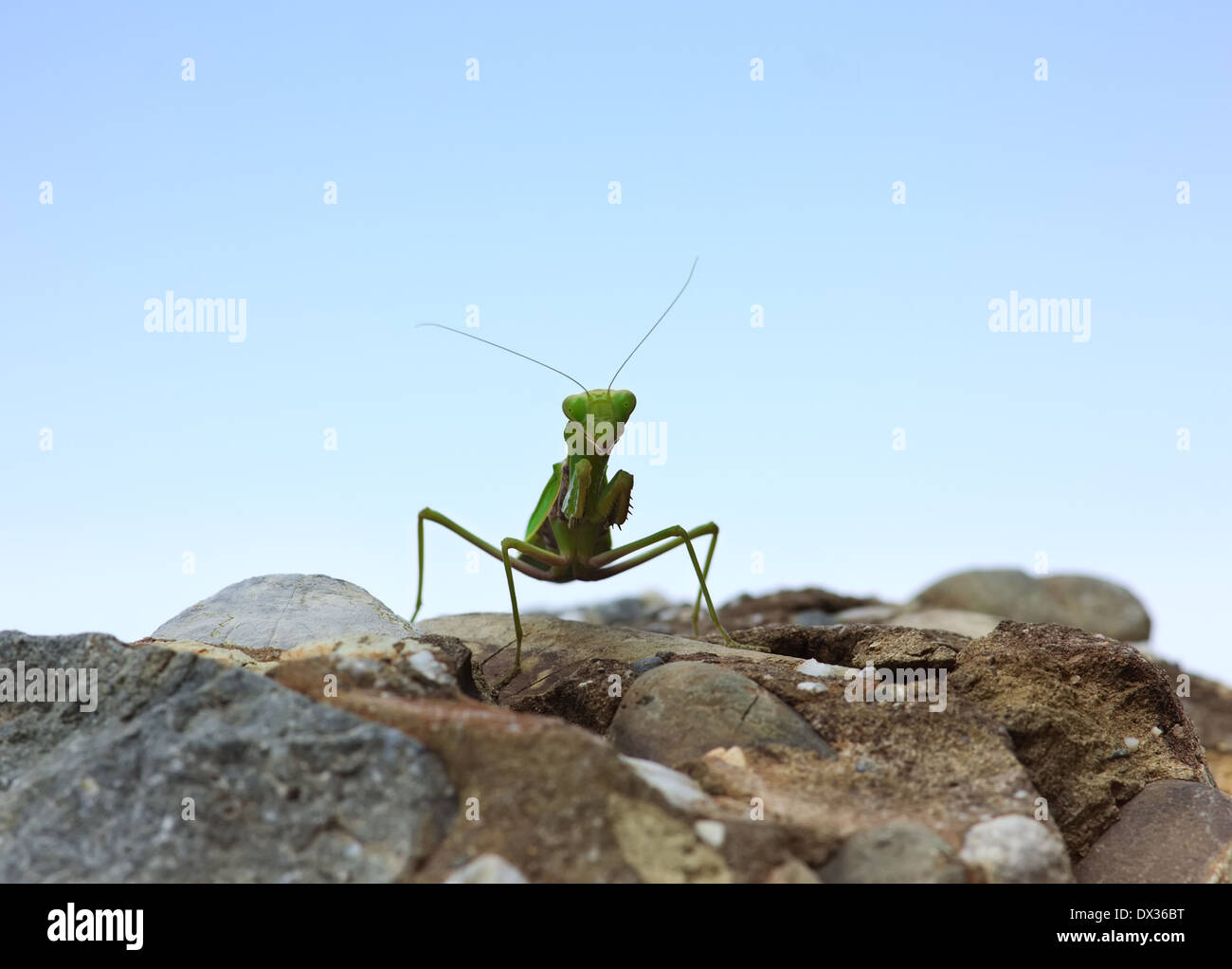 Closeup image of green praying mantis (Mantis religiosa) is sitting on the rock over sky background, looking in Stock Photo