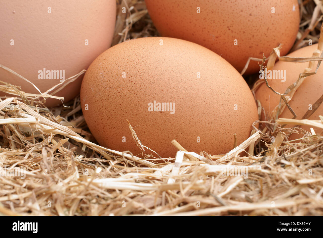 Freshly laid free range hens eggs in a bed of straw - Stock Image
