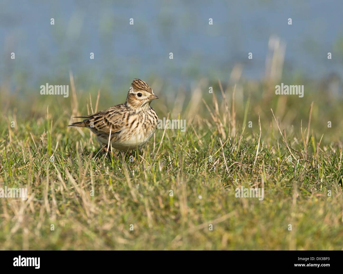 Skylark (Alauda arvensis) on breeding grounds, Kent. - Stock Image