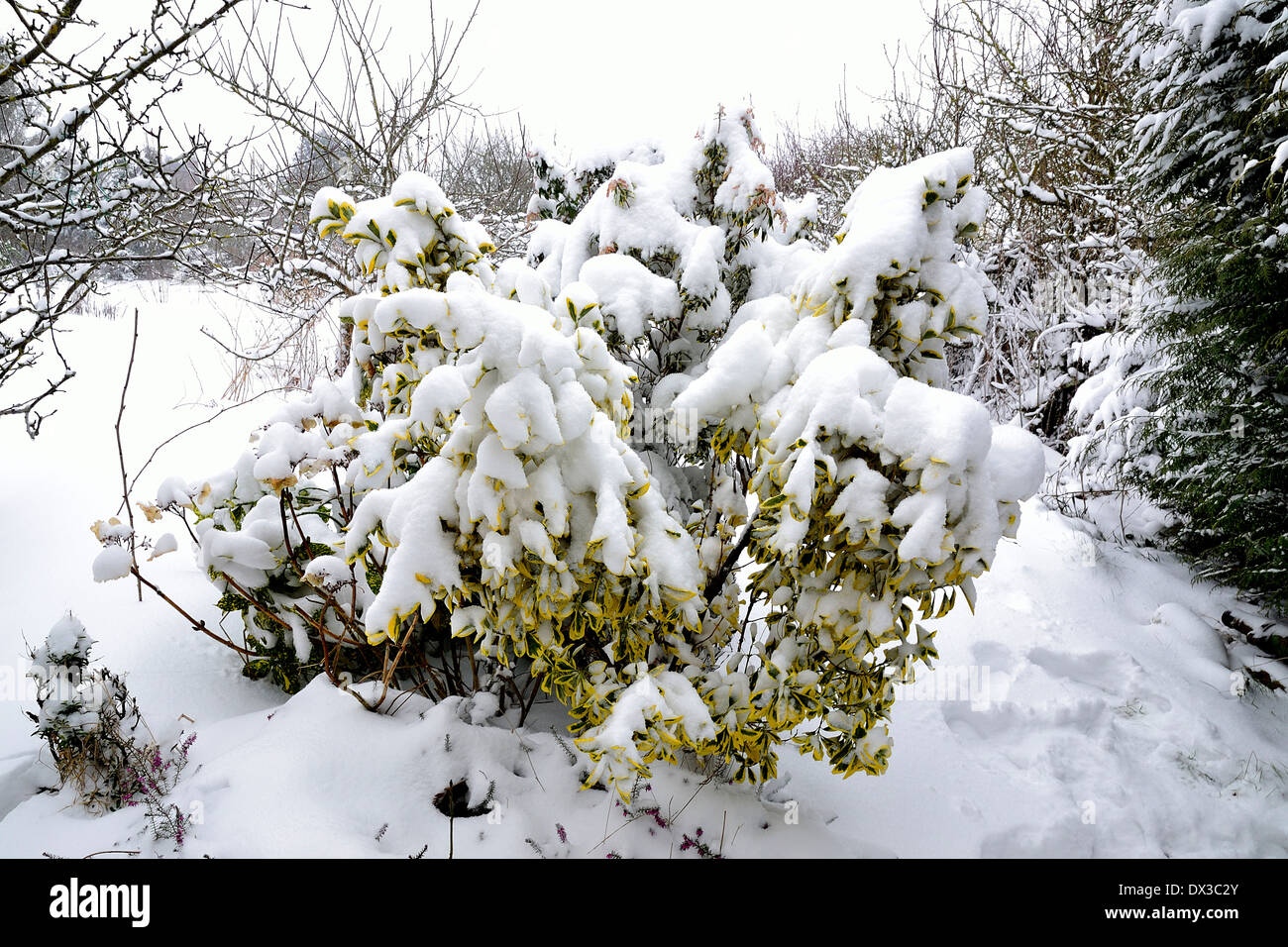 Euonymus fortunei 'Emerald n Gold' (Spindle tree), under snow in a garden (Potager de Suzanne, Le Pas, north Mayenne, FR). - Stock Image