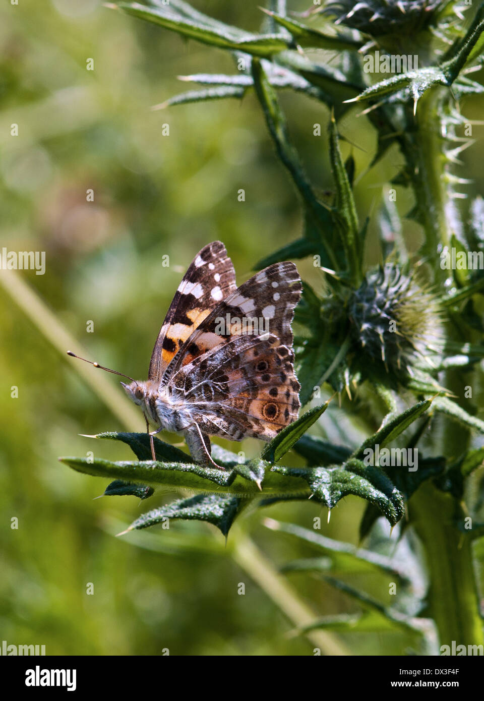 Painted Lady Butterfly  Cynthia cardui Stock Photo