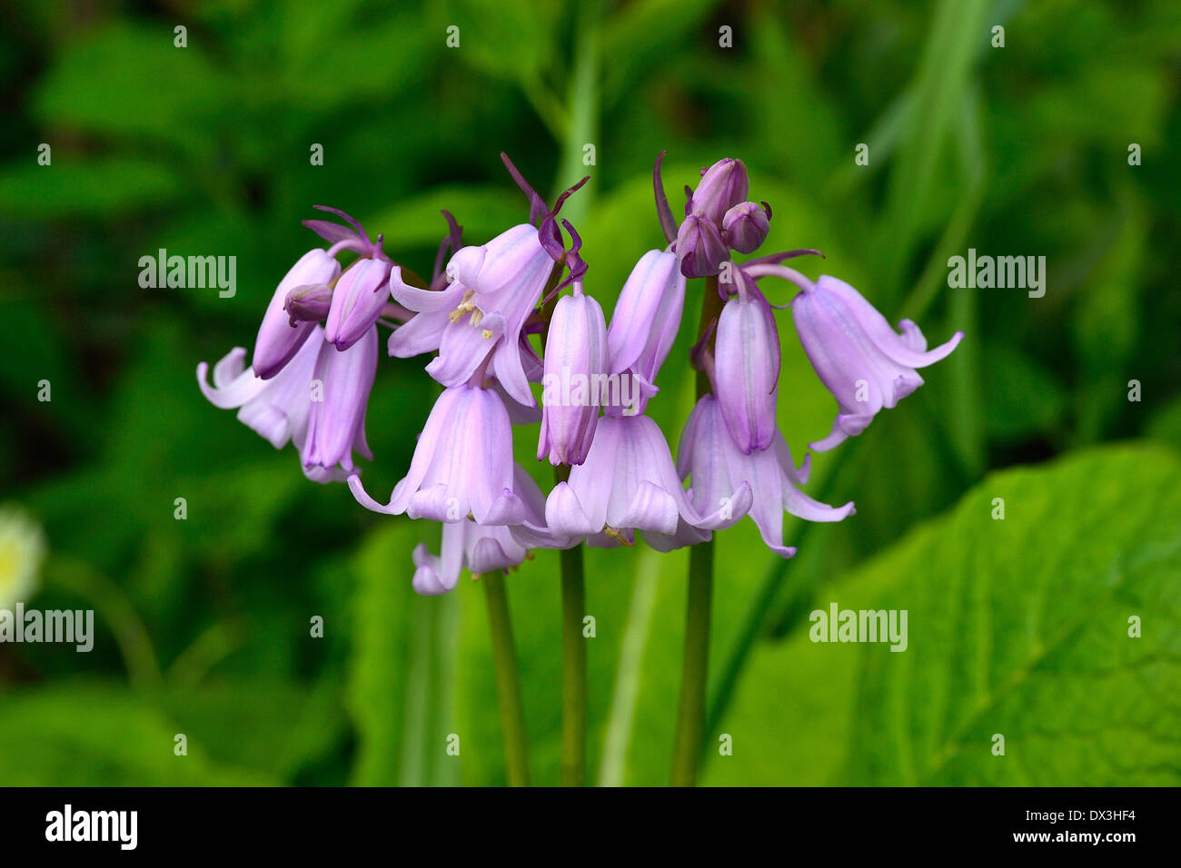 Spanish Bluebell (Hyacinthoïdes hispanica), in may, in a garden. - Stock Image