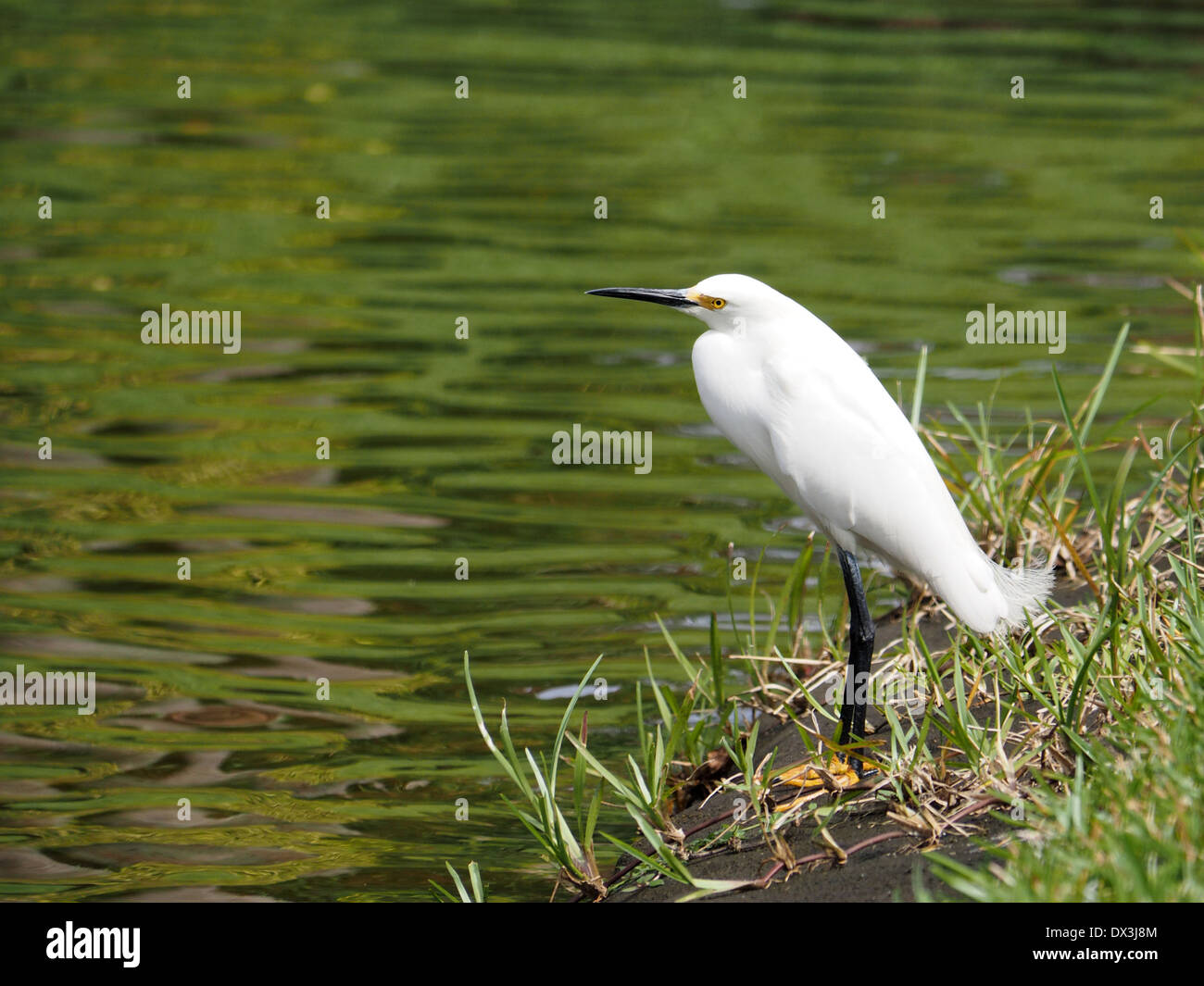 Snowy Egret with head tilted to side, standing by a lake. - Stock Image