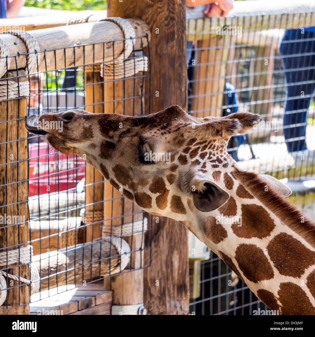 West African giraffe (Giraffa camelopardalis), an even-toed ungulate mammal and largest ruminant licking with long tongue. - Stock Image