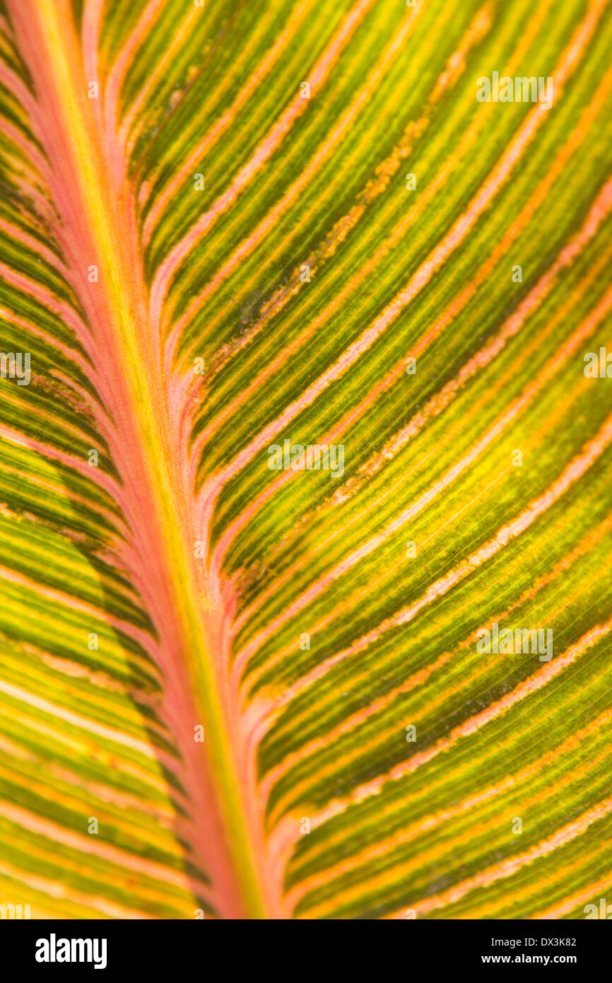 Pink and green canna leaf detail pattern, full frame, close up - Stock Image